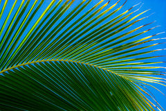 Palm leaf. Tropical green palm leaf with blue background Royalty Free Stock Photo
