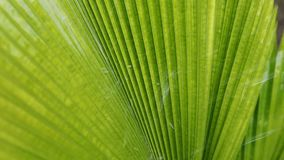 Palm leaf texture. Palm leaf tropical plant, abstract green nature pattern texture background stock video footage