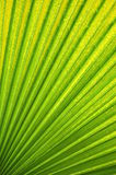 Palm Leaf Veins Green and Yellow Royalty Free Stock Images