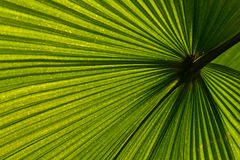 Palm leaf venation. Bright green palm leaf viewed from below, spreading out its veins in all directions Royalty Free Stock Photo