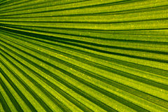 Palm leaf venation Stock Photography