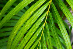 Palm leaf with water drops Royalty Free Stock Photo