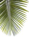 Palm leaf on white background Royalty Free Stock Photo