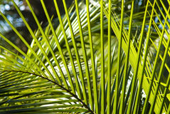 Palm leafs background Royalty Free Stock Image