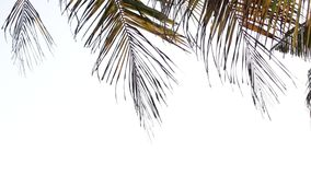 Palm leafs blowing by the wind on a white background. Bali stock footage