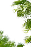 Palm leafs Royalty Free Stock Image