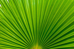 Palm leafs with radial pattern. Texture of green palm leafs Stock Image