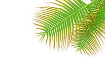 Palm leafy Royalty Free Stock Photography