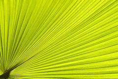 Palm leave Royalty Free Stock Images