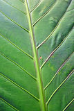 Palm Leave Close-up. Palm leave in Matagalpa, Nicaragua stock photo