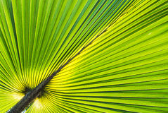 Palm leave . Royalty Free Stock Photo