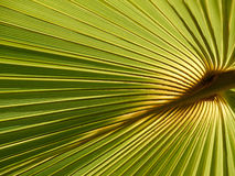 Palm leave. Pam leave with the sun from behind forming a geometrical pattern Stock Image