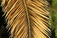 Palm. Leave palm on Spain. Texture Royalty Free Stock Photo