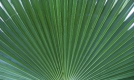 Palm leave texture background. Green jungle background. Coconut palm tree.  royalty free stock images