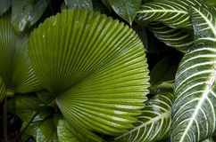 Palm leave. Tropical tree leaves in Singapore botanic garden Stock Image