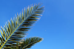 Palm Leaves. On the blue sky background Royalty Free Stock Photography