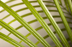 Palm Leaves. Leaves of decorative palm plant Stock Image