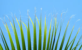 Palm Leaves. Green palm leaves against a blue sky Royalty Free Stock Images