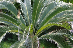 Palm leaves. Plam leaves royalty free stock image