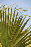 Palm leaves. Palm tree leaves close-up picture stock image