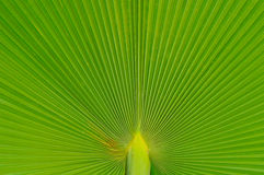 Palm leaves. Stock Photo