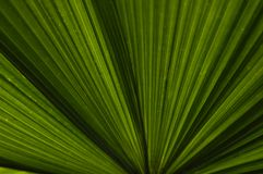 Palm Leaves. The striking lines of a banana palm leaf shot against the sun Royalty Free Stock Image