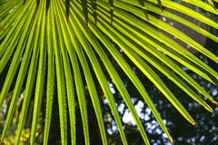 Palm leaves. In a sunny day stock images