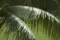 Palm leaves. In detail Stock Photos