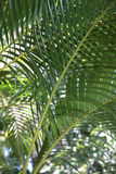 Palm leaves. Palm tree leaf green tropical jungle forest plant Royalty Free Stock Photo