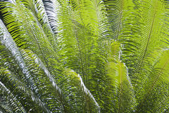 Palm leaves. Close up of fan palm leaves Stock Image