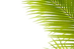 Palm leaves against white Royalty Free Stock Photography