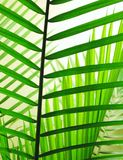 Palm Leaves 2. Back lit overlapping palm fronds Royalty Free Stock Images