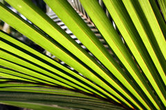 Palm Leaves Background Stock Photography