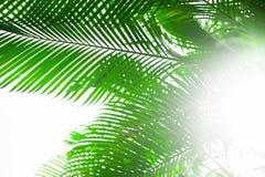 Palm leaves background, beautiful tree, Palm Sunday. Palm leaves background, beautiful tree horizontal photo , Palm Sunday symbol Royalty Free Stock Photo