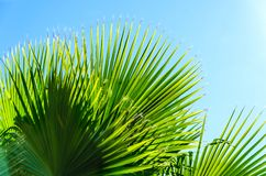 Palm leaves background. With blue sky Royalty Free Stock Photos