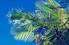 Palm leaves background with blue sky. Palm leaves background, blue sky, retro tonning Stock Images