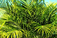Palm leaves background. With blue sky Royalty Free Stock Photo