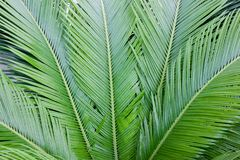 Palm leaves background. Tropical texture. Close up. Exotic green pattern Stock Image