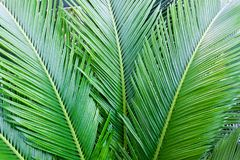 Palm leaves background. Tropical texture. Close up. Exotic green pattern Stock Photography