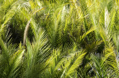 Palm leaves background. In warm yellow sunlight Royalty Free Stock Photo