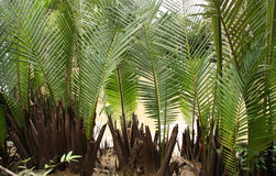 Palm leaves backgroung Royalty Free Stock Image
