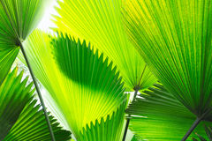 Palm Leaves. Beautiful Green Tropical Palm leaf fronds silhouetted by the sun Stock Photography