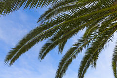 Palm leaves on a blue background Stock Photos