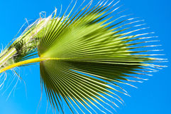 Palm leaves on blue clear sky Royalty Free Stock Photos