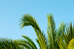 Palm leaves with a blue sky as background. Palm leaves which extends up to the sky Royalty Free Stock Images