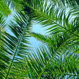 Palm leaves and blue sky Royalty Free Stock Image