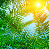 Palm leaves and blue sky. Background of palm leaves and blue sky Royalty Free Stock Images