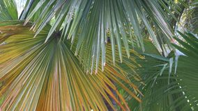 Palm leaves stock video