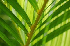 Palm leaves Close-up. Close-up of palm leaves in back light Stock Photography