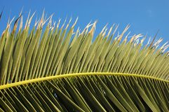 Palm leaves. Close up and blue sky Royalty Free Stock Image